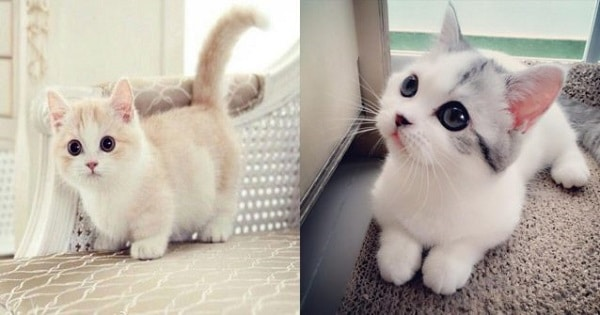 Munchin Cats Are The Most Adorable Kitties in The World And Here Are 10 Pictures to Prove That!