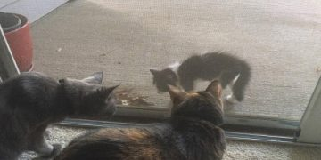 Stray Kitten Shows Up At Door And Literally Demands To Be…