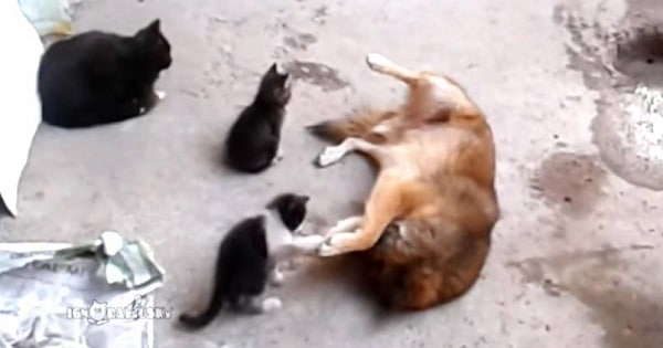 Mother Cat Introduces Her Two Kids To Her Best Friend, a Dog!