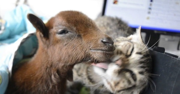 Rescued Tabby Helps Care and Nurse Baby Goat Back to Health