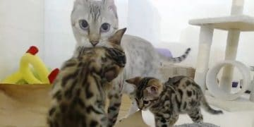 Rescue Bengal Mama Cat Is So Happy Her Last 2 Babies Survived