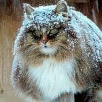 Russian Farmer Takes Incredible Pictures Of Her Majestic Siberian Cats (Gallery)