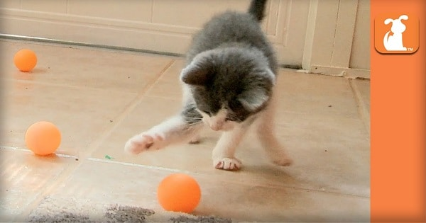 Rescue Kittens Love Ping Pong Balls !!!
