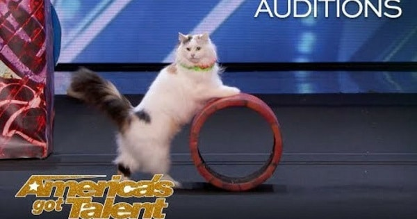 The Savitsky Cats Wins The Judges' Hearts at America's Got Talent With Their Amazing Tricks!