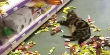 Lost Tabby Is Found At Nearby Store Helping Himself to Catnip Products!