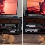 Cat Is Scared By Puma Running On TV In Front Of Him