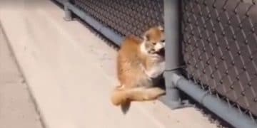 Man Discovers A Cat With Its Head Stuck In a Fence On The Freeway!
