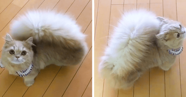 Meet Bell, The Cat With Squirrel-Like Tail!