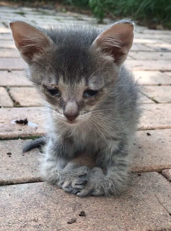 Sad Kitten With Very Unique Paws Walks Up To Woman And Begs Her To Take Him Home 1