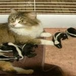 Farm Cat Nurses Six Baby Skunks Abandoned By Their Mama