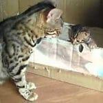 Bengal Mother Cat Talking to Her Kitten