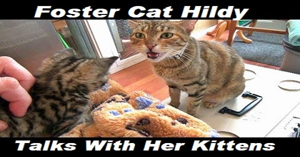 Foster Cat Hildy Talks With Her Kittens