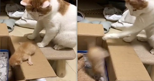 Mama Cat Knocks Her Kitten Into Box With A Swipe Of Her Paw Because Kitten Took Too Long