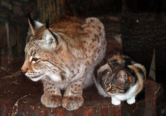 Stray Cat Breaks Into Zoo, Becomes Best Friends With A Lynx 1