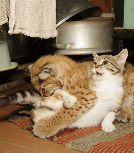 Stray Cat Breaks Into Zoo, Becomes Best Friends With A Lynx 2