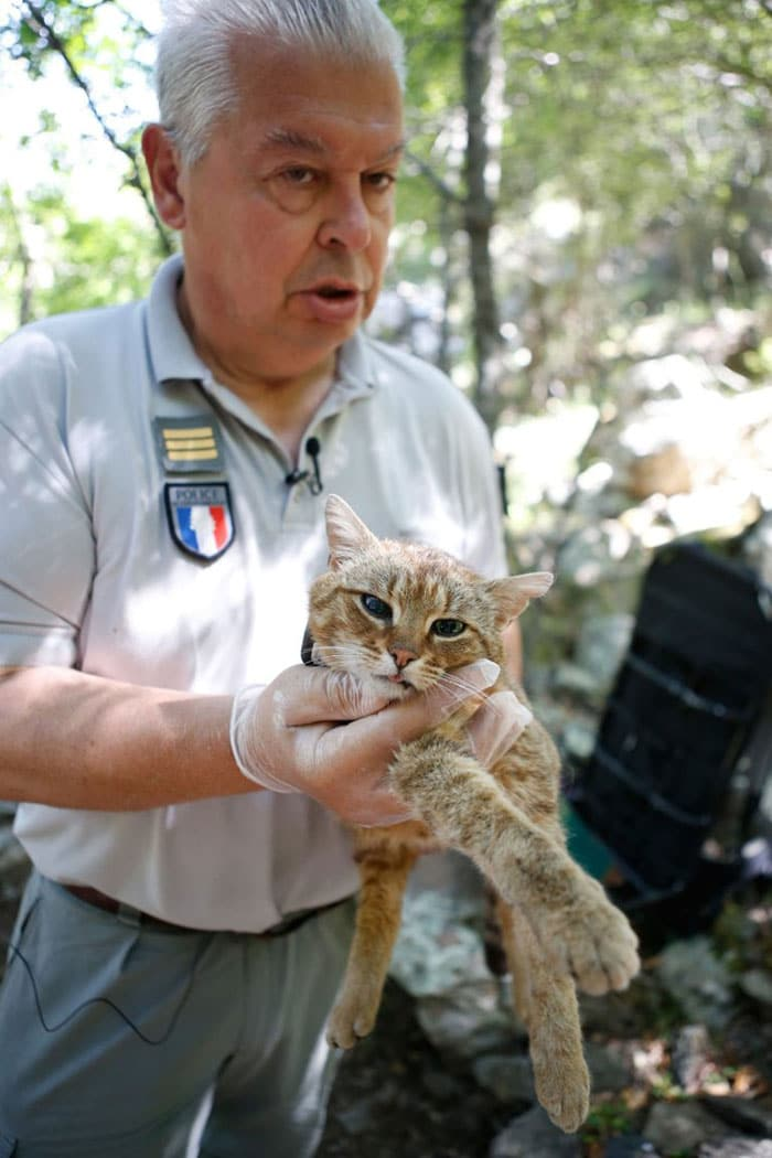 Scientists in Corsica Discover a New Cat Breed Which Was Previously Believed To Be A Myth 3