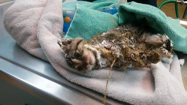 Kitten Barely Survives After Being Found with His Head Covered in Spray Foam 3