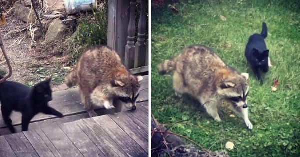 Blind Raccoon Brings Two Stray Kittens To Human Friend And Saves Their Lives
