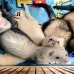 Rescued Kitten (Komari) Thinks She's a Ferret