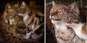 Stray Cat Breaks Into Zoo, Becomes Best Friends With A Lynx