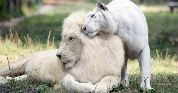 White Lion And White Tiger Had Babies