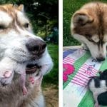 Heroic Husky Found 7 Kittens in The Forest And Became Their Mother