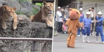 Japanese Zoo Escape Drill Goes Viral And People Are Laughing At The Real Lions' Reaction