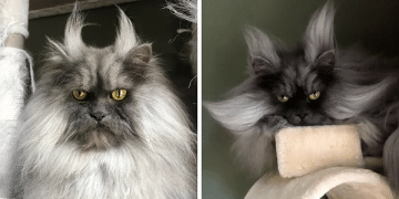 Meet Juno, The Cat With Better Hair Than All Of Us