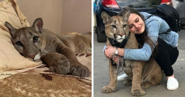 Rescued Puma Becomes A Member Of A Human's Family And Can't Back To The Wild