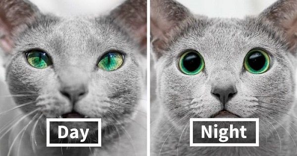 These Gorgeous Russian Blue Cats Have The Most Mesmerizing Eyes