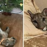 Adorable Puma Is Living As A Spoiled House Cat!