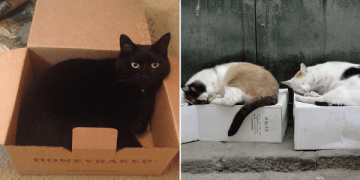 Stuffing Themselves Into Boxes Helps Cats Deal with Stress
