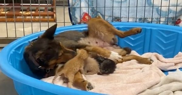 Rescue Dog with Lost Pups Adopts Kittens