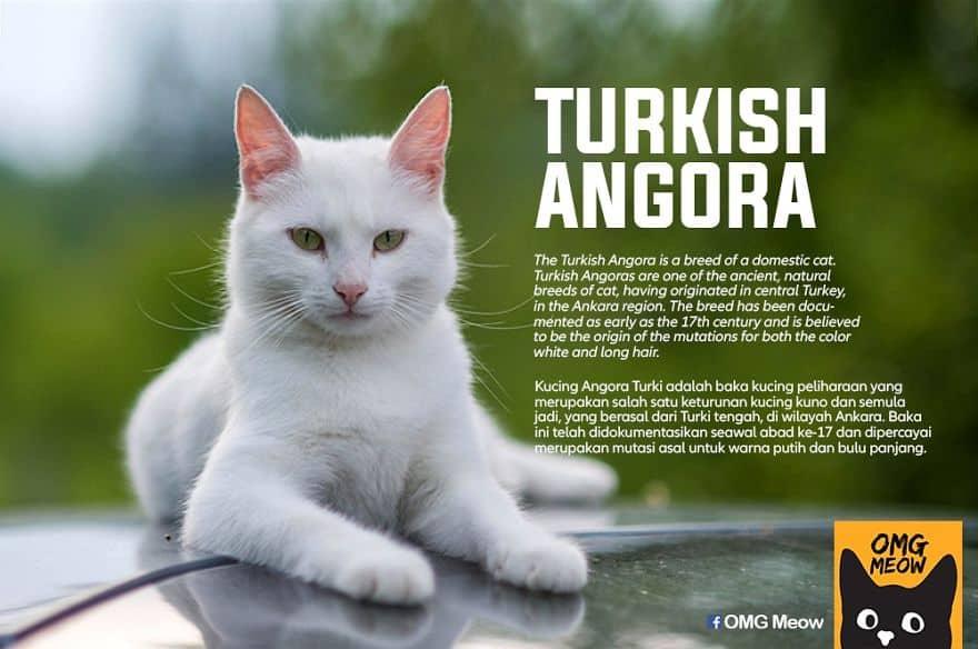 Turkish Angora