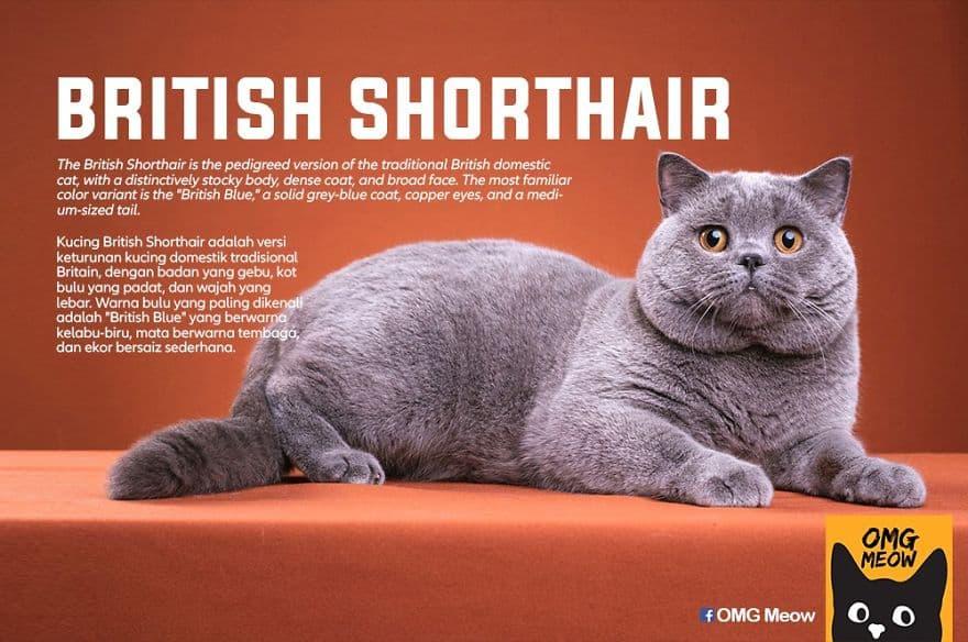 The British Shorthair