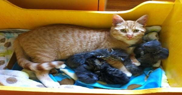 This Male Cat is More Than Happy to Play Mommy