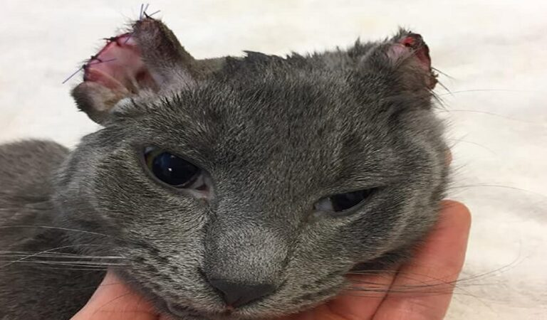 Kitten Who Lost Much Of His Ears And Toes – Is Transformed Into Complete Love-bug!