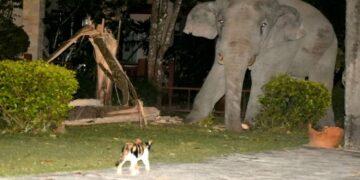Simba the Cat Scares Four Tonne Elephant