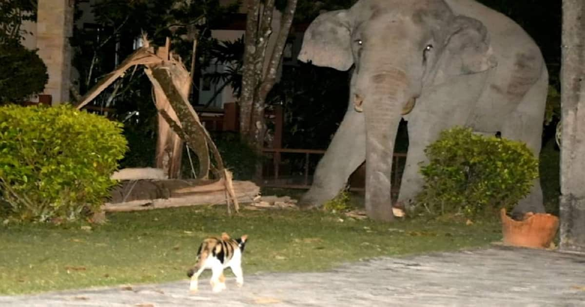 Simba the Cat Scares Four Tonne Elephant