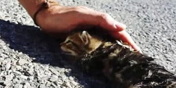 This Kitten Was Brought Back to Life With Love And Petting