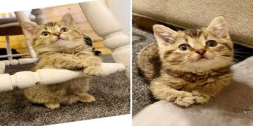 Deformed Kitten with Bent Paws Gets a Second Chance at Life and Lives It to the Fullest