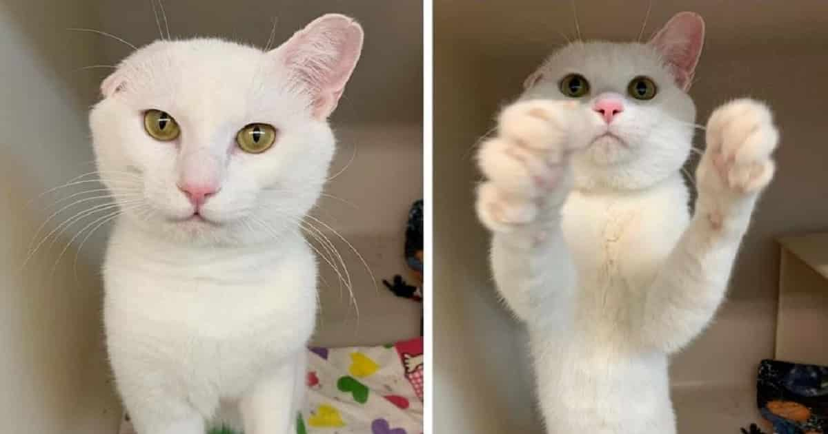 Poor Kitten with One Ear Missing Waves at Potential Adopters to Find a New Home